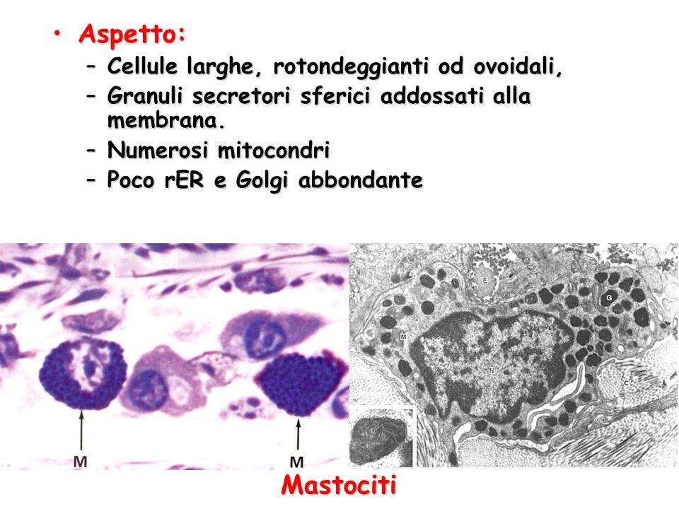 Aspetto:Aspetto: –Cellule larghe, rotondeggianti od ovoidali, –Granuli secretori sferici addossati alla membrana. –Numerosi mitocondri –Poco rER e Gol