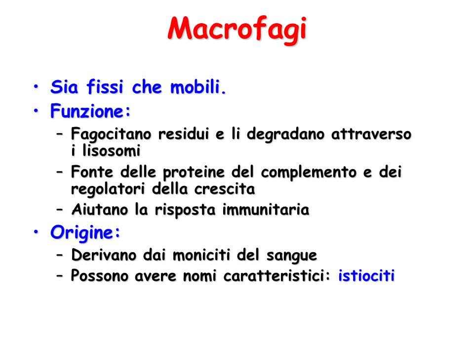 Macrofagi Sia fissi che mobili.Sia fissi che mobili. Funzione:Funzione: –Fagocitano residui e li degradano attraverso i lisosomi –Fonte delle proteine