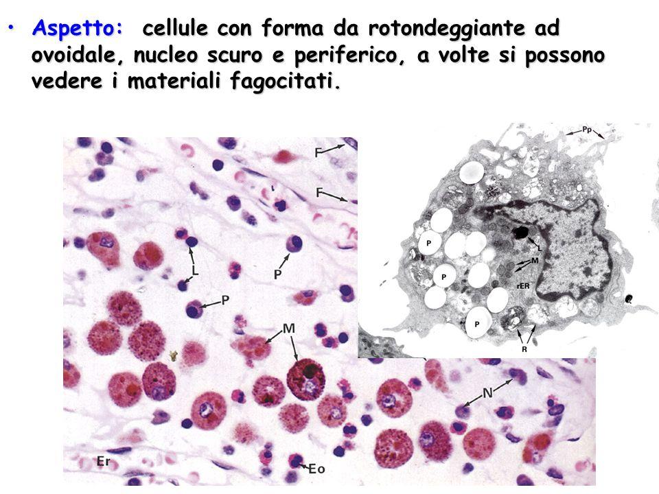 Aspetto: cellule con forma da rotondeggiante ad ovoidale, nucleo scuro e periferico, a volte si possono vedere i materiali fagocitati.Aspetto: cellule