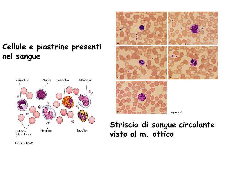 Cellule e piastrine presenti nel sangue Striscio di sangue circolante visto al m. ottico