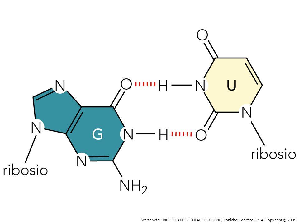 U1 U2 U4/U6 U5 snRNP nello spliceosoma