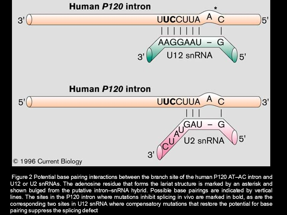 Figure 2 Potential base pairing interactions between the branch site of the human P120 AT–AC intron and U12 or U2 snRNAs. The adenosine residue that f