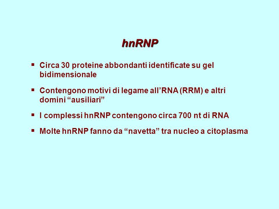"""hnRNP  Circa 30 proteine abbondanti identificate su gel bidimensionale  Contengono motivi di legame all'RNA (RRM) e altri domini """"ausiliari""""  I com"""