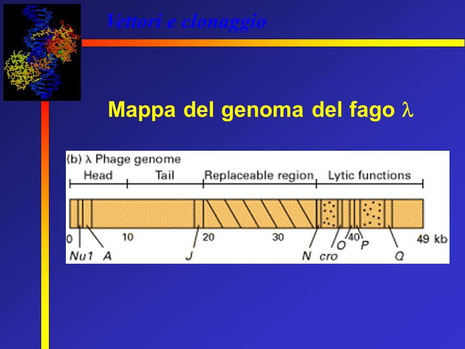 Vettori e clonaggio Mappa del genoma del fago