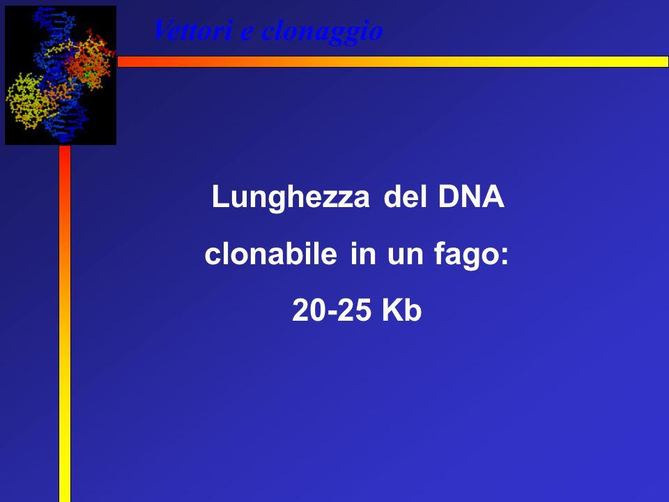 Vettori e clonaggio Lunghezza del DNA clonabile in un fago: 20-25 Kb