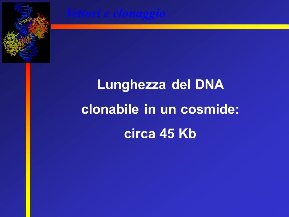 Vettori e clonaggio Lunghezza del DNA clonabile in un cosmide: circa 45 Kb