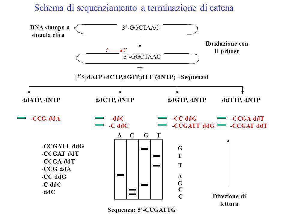 DNA stampo a singola elica 3'-GGCTAAC 5'3' Ibridazione con Il primer + [ 35 S]dATP+dCTP,dGTP,dTT (dNTP) +Sequenasi ddATP, dNTP ddCTP, dNTP ddGTP, dNTP