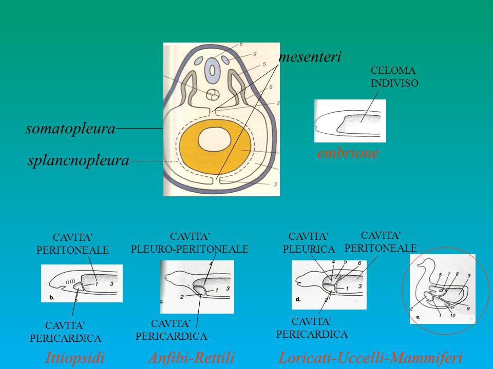 CAVITA' PERICARDICA CAVITA' PERITONEALE Ittiopsidi CAVITA' PLEURO-PERITONEALE CAVITA' PERICARDICA Anfibi-Rettili CAVITA' PERICARDICA CAVITA' PERITONEA
