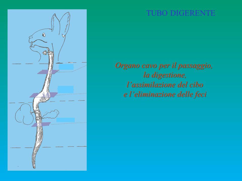 TUBO DIGERENTE Organo cavo per il passaggio, la digestione, l'assimilazione del cibo e l'eliminazione delle feci Esofago Stomaco Intestino