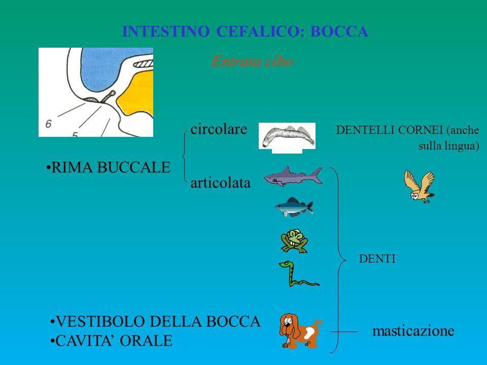 INTESTINO CEFALICO: BOCCA RIMA BUCCALE circolare DENTELLI CORNEI (anche sulla lingua) articolata VESTIBOLO DELLA BOCCA CAVITA' ORALE DENTI masticazion