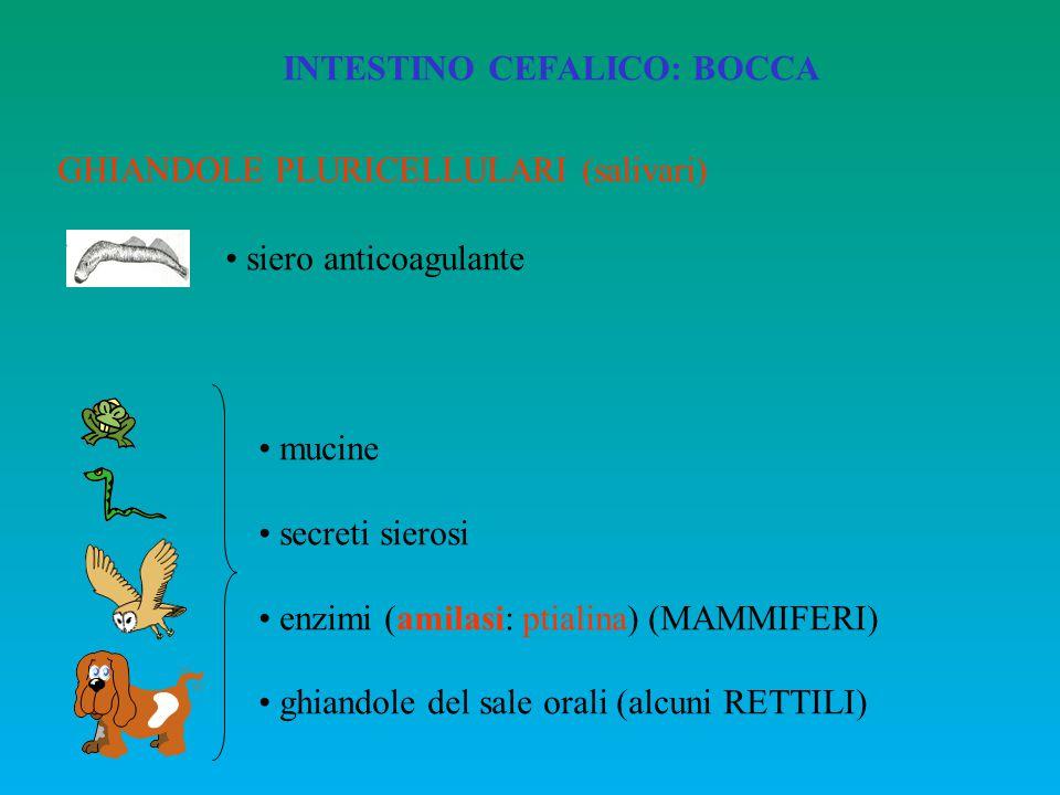 INTESTINO CEFALICO: BOCCA GHIANDOLE PLURICELLULARI (salivari) siero anticoagulante mucine secreti sierosi enzimi (amilasi: ptialina) (MAMMIFERI) ghian