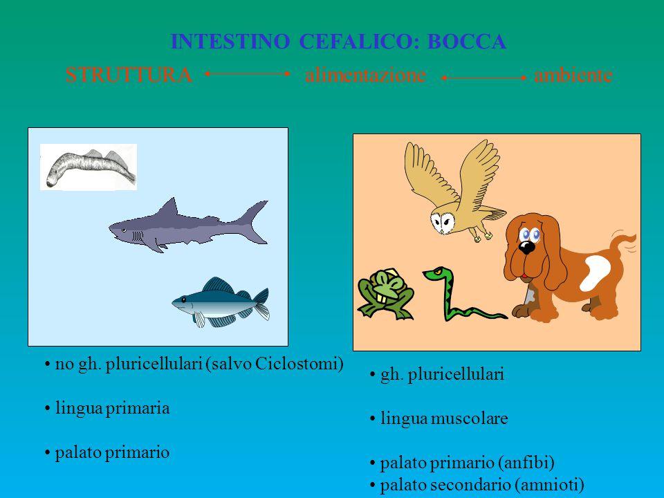 STRUTTURA alimentazione ambiente no gh. pluricellulari (salvo Ciclostomi) lingua primaria palato primario gh. pluricellulari lingua muscolare palato p