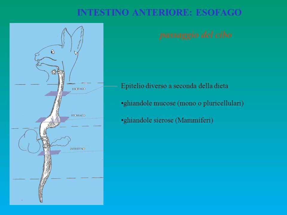 INTESTINO ANTERIORE: ESOFAGO Epitelio diverso a seconda della dieta ghiandole mucose (mono o pluricellulari) ghiandole sierose (Mammiferi) passaggio d