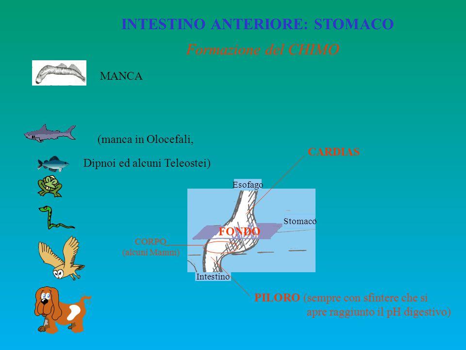 INTESTINO ANTERIORE: STOMACO Esofago Stomaco Intestino CARDIAS PILORO (sempre con sfintere che si apre raggiunto il pH digestivo) FONDO CORPO (alcuni
