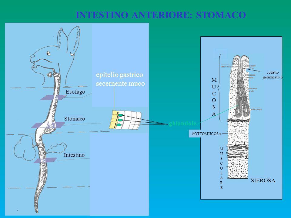 INTESTINO ANTERIORE: STOMACO Esofago Stomaco Intestino M a b c SM MU ghiandole epitelio gastrico secernente muco MUCOSAMUCOSA SOTTOMUCOSA MUSCOLAREMUS