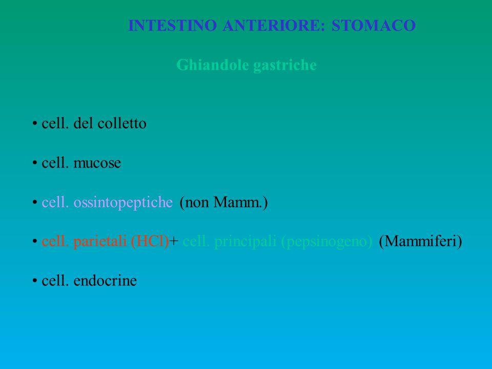 INTESTINO ANTERIORE: STOMACO Ghiandole gastriche cell. del colletto cell. mucose cell. ossintopeptiche (non Mamm.) cell. parietali (HCl)+ cell. princi