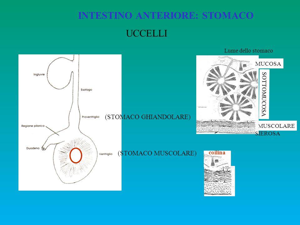 INTESTINO ANTERIORE: STOMACO UCCELLI (STOMACO GHIANDOLARE) (STOMACO MUSCOLARE) MUSCOLARE MUCOSA Lume dello stomaco SOTTOMUCOSA SIEROSA coilina