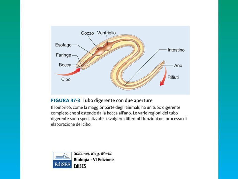 OSTRACODERMIfiltratori CICLOSTOMI filtratori larve: filtratori adulti: bocca circolare e lingua parassiti a pistone--- parassiti spazzini --- spazzini PLACODERMI gnatostomi agilipredatori DENTI LINGUA