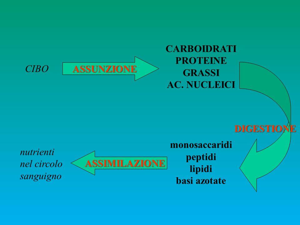 INTESTINO CEFALICO: BOCCA RIMA BUCCALE circolare DENTELLI CORNEI (anche sulla lingua) articolata VESTIBOLO DELLA BOCCA CAVITA' ORALE DENTI masticazione Entrata cibo