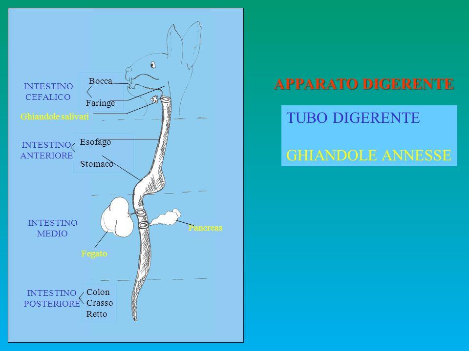 MAMMIFERI: nutrizione alla nascita la ghiandola mammaria nella madre e la presenza di muscolatura (muscolo orbicolare della bocca e muscolo buccinatore) nel neonato.