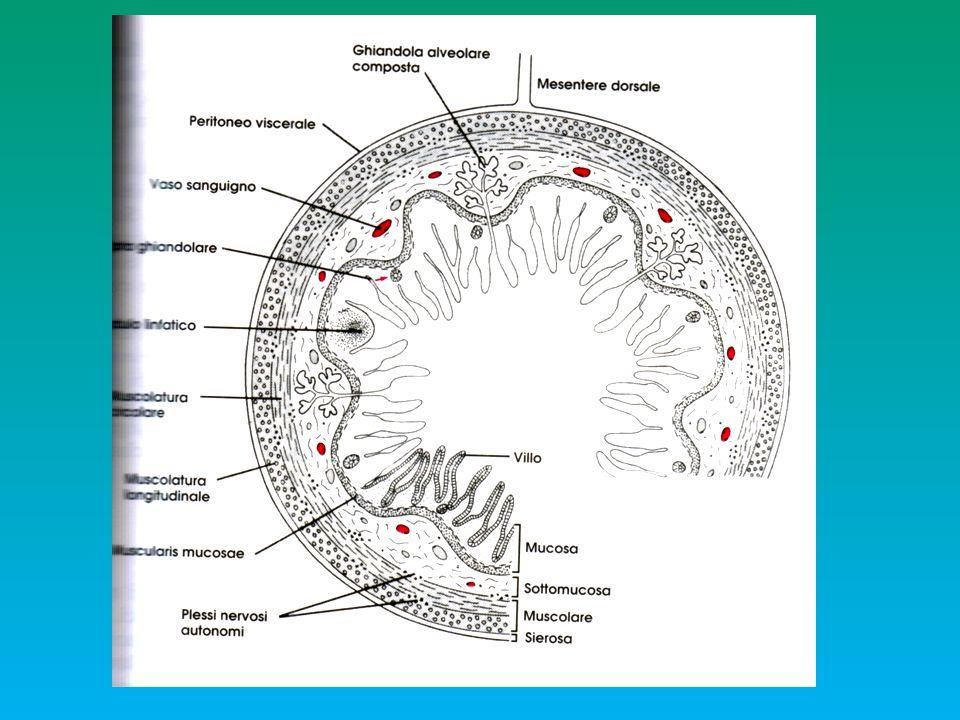 INTESTINO ANTERIORE: STOMACO Esofago Stomaco Intestino M a b c SM MU ghiandole epitelio gastrico secernente muco MUCOSAMUCOSA SOTTOMUCOSA MUSCOLAREMUSCOLARE SIEROSA colletto germinativo