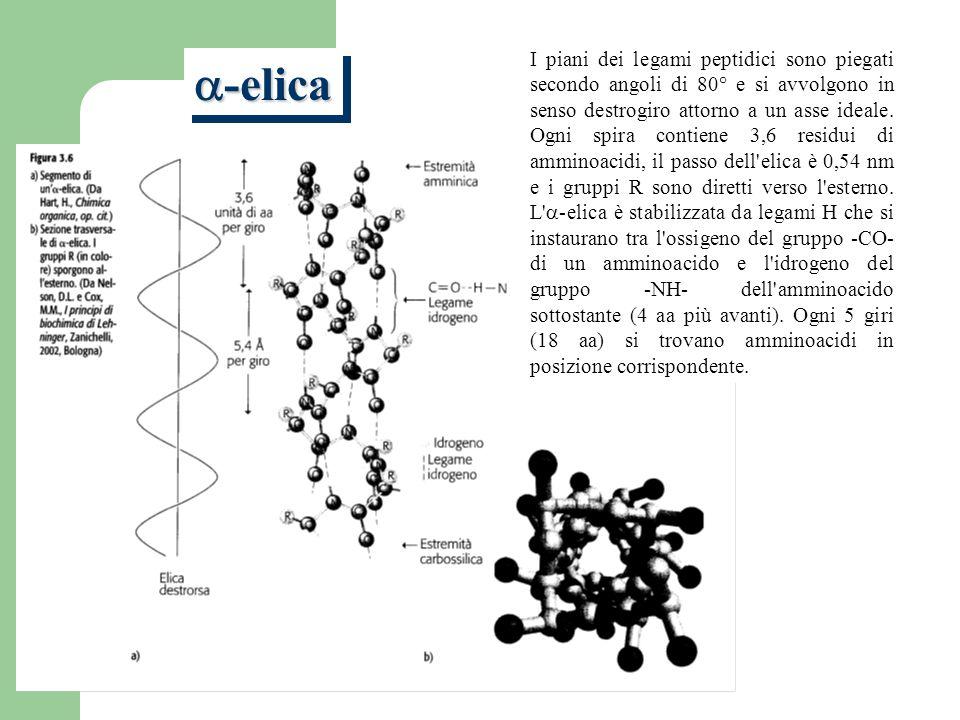 I piani dei legami peptidici sono piegati secondo angoli di 80° e si avvolgono in senso destrogiro attorno a un asse ideale.