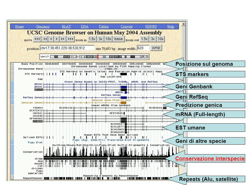Posizione sul genoma STS markers Geni Genbank Geni RefSeq mRNA (Full-length) Predizione genica EST umane Geni di altre specie Conservazione interspecie Repeats (Alu, satellite)