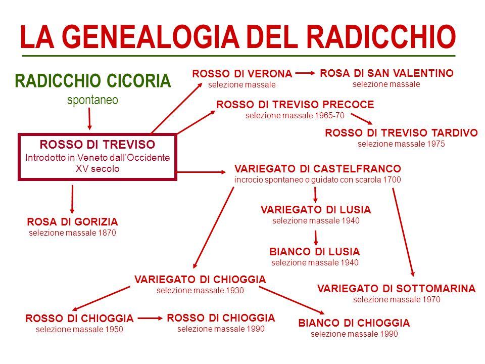 ROSSO DI TREVISO Introdotto in Veneto dall'Occidente XV secolo ROSSO DI TREVISO PRECOCE selezione massale 1965-70 ROSSO DI VERONA selezione massale RO