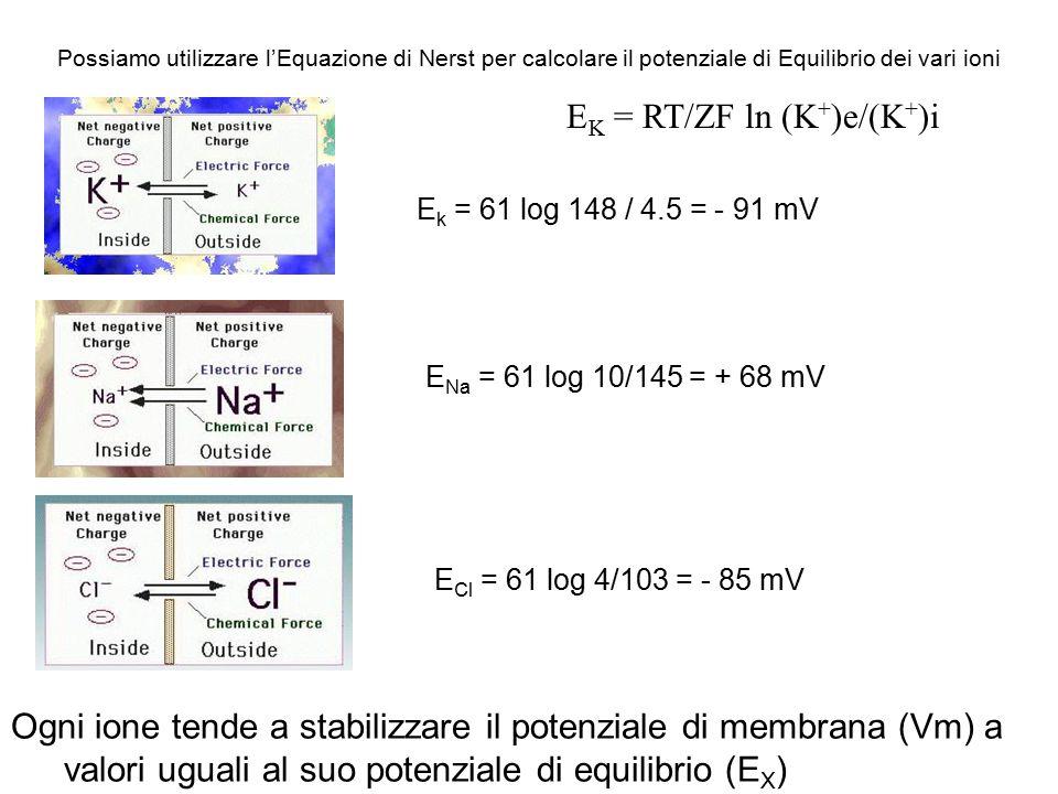 P (K + )e+ P(Na + )e+P(Cl - )e V M = RT/ZF log ___________________ P (K + )i+ P(Na + )i+P(Cl - )i Goldman introduce il parametro permeabilità degli ioni L'esistenza di una  P tra i due capi della membrana è dovuta a: La differente permeabilità della membrana alle differenti specie ioniche La membrana di una cellula a riposo è permeabile solamente agli ioni K +, sarà quindi il Ek del K + a determinare la Vm Risolvendo Goldman per i valori dati si ottiene una Vm tra gli - 70 e i - 90 mV con l'interno negativo e l'esterno positivo un valore simile ottenuto sperimentalmente