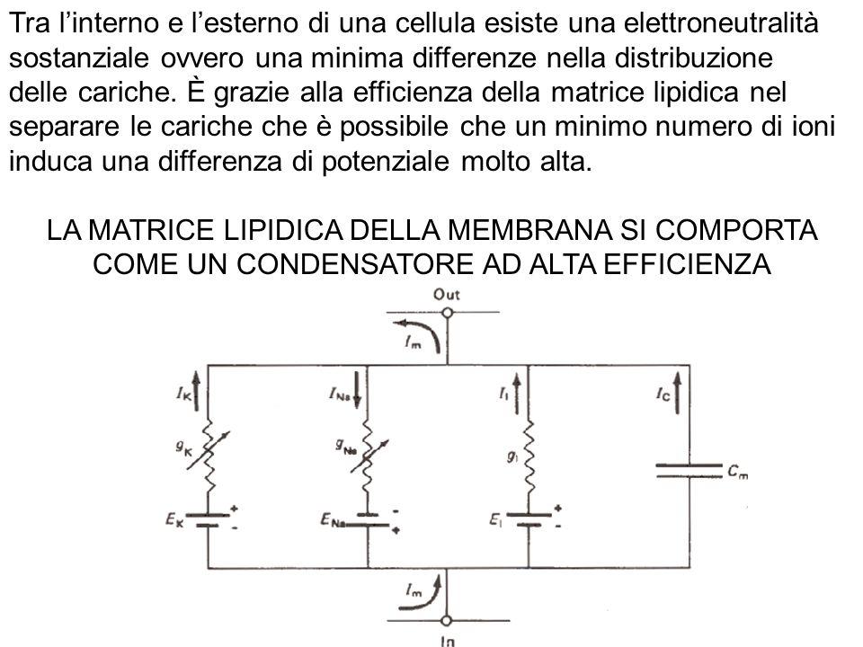 Sarà quindi la apertura o la chiusura dei canali a determinare la variazioni della permeabilità della membrana agli ioni e quindi il passaggio di correnti in entrata o in uscita: queste correnti determineranno a loro volta variazioni della Vm In base ai flussi ionici che si determinano in seguito ad uno stimolo, una cellula viene definita: a riposo, depolarizzata o iperpolarizzata