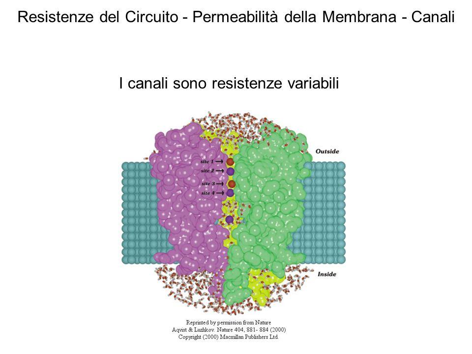 I canali sono resistenze variabili Resistenze del Circuito - Permeabilità della Membrana - Canali