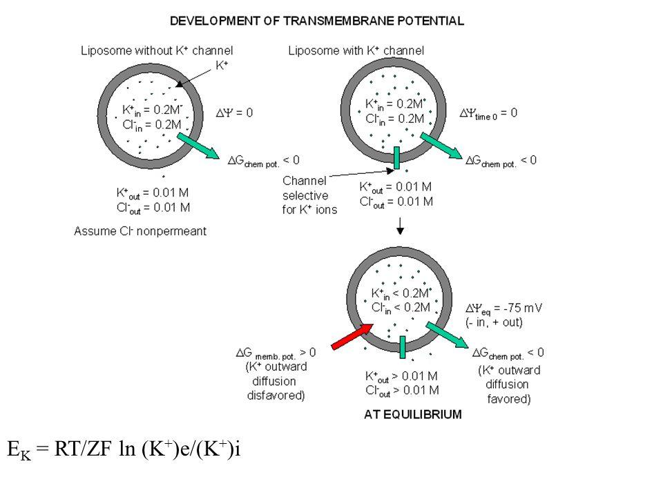 E K = RT/ZF ln (K + )e/(K + )i