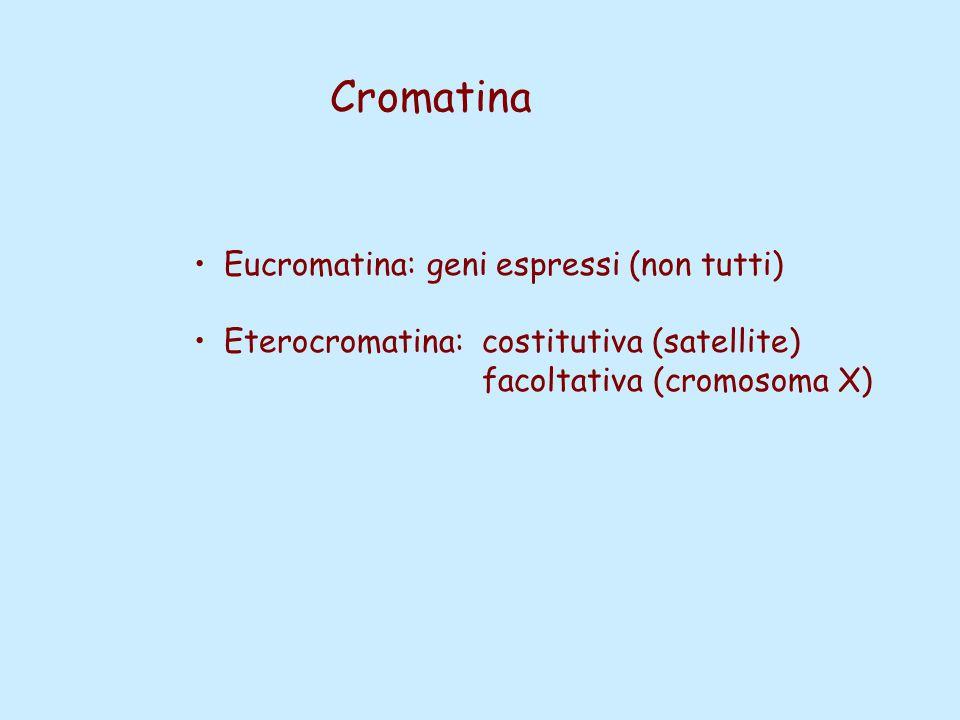 Cromatina Eucromatina: geni espressi (non tutti) Eterocromatina:costitutiva (satellite) facoltativa (cromosoma X)