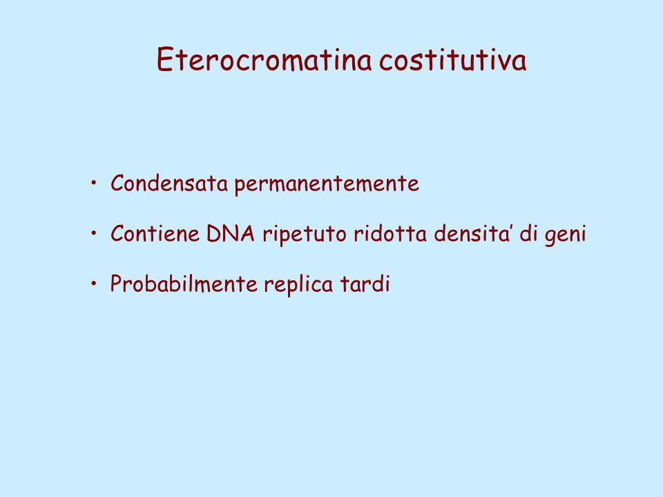 Eterocromatina costitutiva Condensata permanentemente Contiene DNA ripetuto ridotta densita' di geni Probabilmente replica tardi