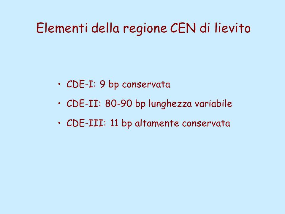 Elementi della regione CEN di lievito CDE-I: 9 bp conservata CDE-II: 80-90 bp lunghezza variabile CDE-III: 11 bp altamente conservata