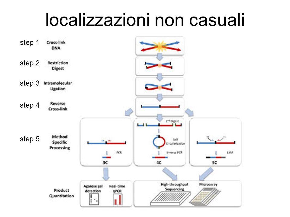 metodologia 1)fissazione regioni con formaldeide cross-linked tra DNA e proteine; legami cis trans tra promotori ed enhancers 2)digestione con enz.