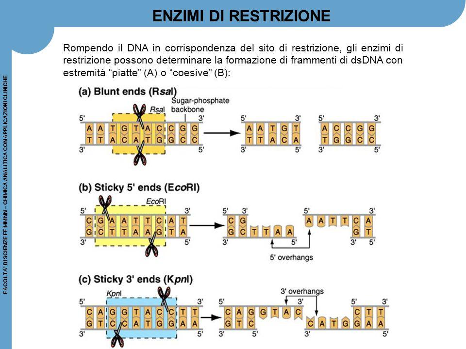 FACOLTA' DI SCIENZE FF MM NN – CHIMICA ANALITICA CON APPLICAZIONI CLINICHE Rompendo il DNA in corrispondenza del sito di restrizione, gli enzimi di re