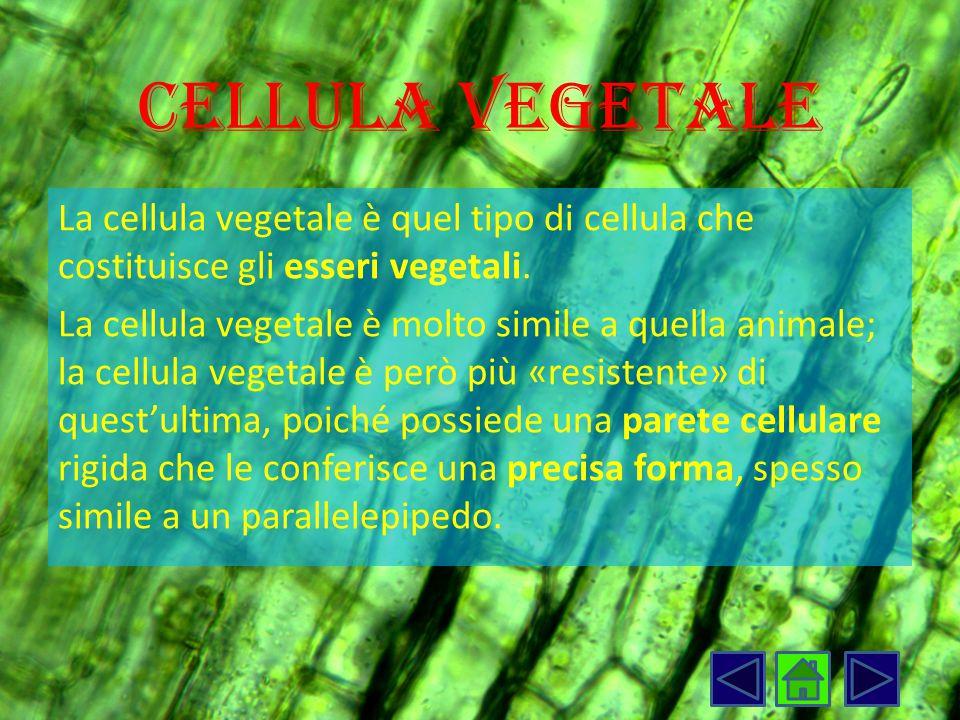 Cellula vegetale La cellula vegetale è quel tipo di cellula che costituisce gli esseri vegetali. La cellula vegetale è molto simile a quella animale;