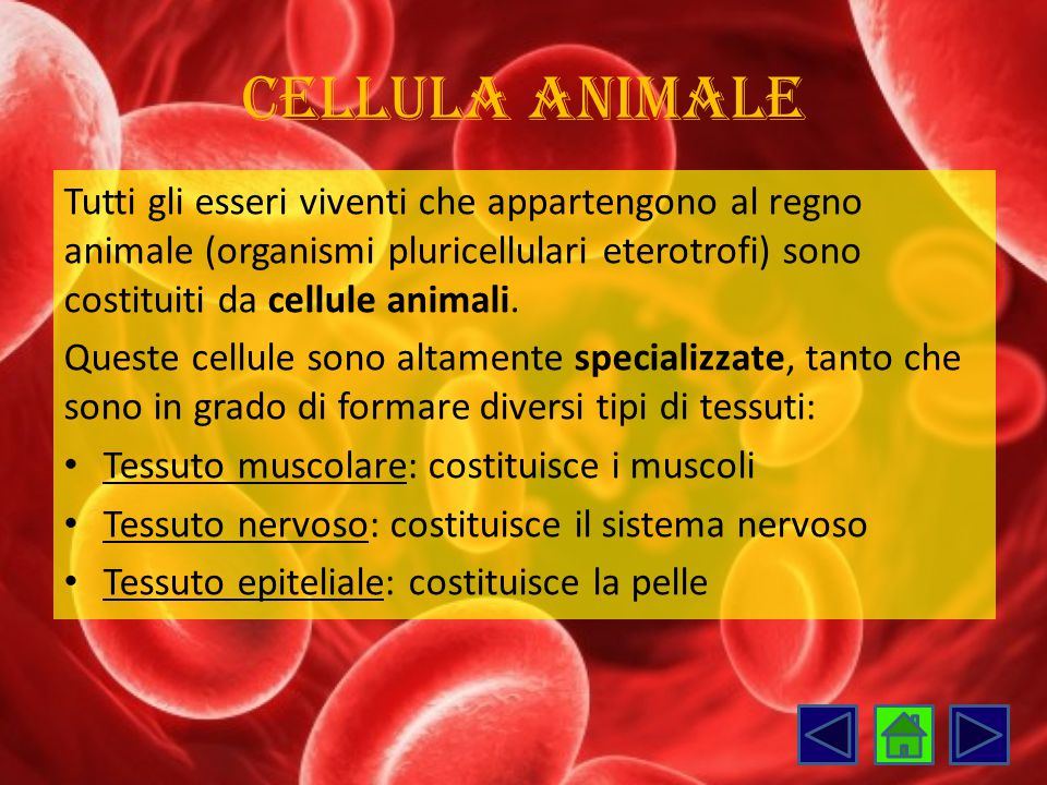 Cellula animale Tutti gli esseri viventi che appartengono al regno animale (organismi pluricellulari eterotrofi) sono costituiti da cellule animali. Q