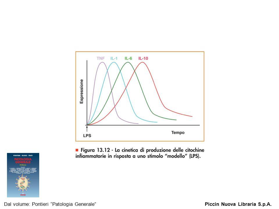 """Figura 13.12 - La cinetica di produzione delle citochine infiammatorie in risposta a uno stimolo """"modello"""" (LPS). Dal volume: Pontieri """"Patologia Gene"""