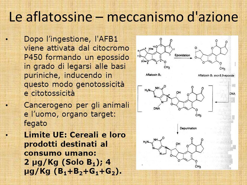 Le aflatossine – meccanismo d'azione Dopo l'ingestione, l'AFB1 viene attivata dal citocromo P450 formando un epossido in grado di legarsi alle basi pu