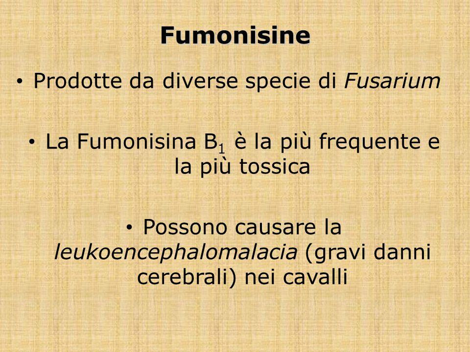 Fumonisine Prodotte da diverse specie di Fusarium La Fumonisina B 1 è la più frequente e la più tossica Possono causare la leukoencephalomalacia (grav
