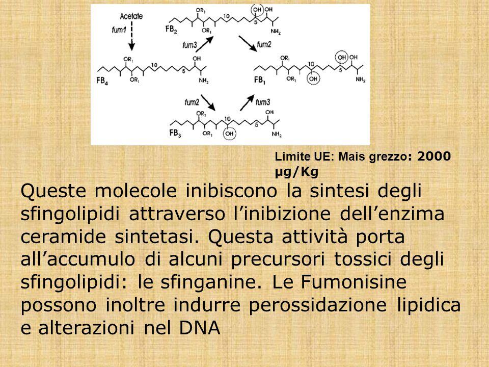 Queste molecole inibiscono la sintesi degli sfingolipidi attraverso l'inibizione dell'enzima ceramide sintetasi. Questa attività porta all'accumulo di