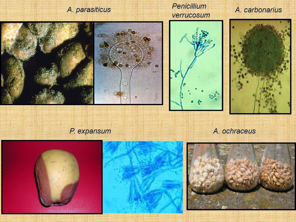 Micotossine Metaboliti secondari prodotti da alcuni generi fungini (Aspergillus, Penicillium, Fusarium per es.) tossici in basse concentrazioni per i vertebrati (Samson, 1996) Il ruolo ecologico di molte di esse è ancora poco chiaro