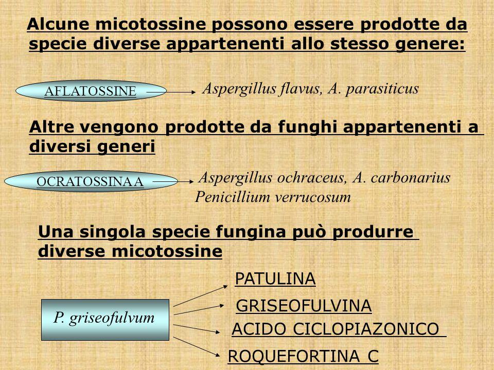 Alcune micotossine possono essere prodotte da specie diverse appartenenti allo stesso genere: AFLATOSSINE Aspergillus flavus, A. parasiticus OCRATOSSI