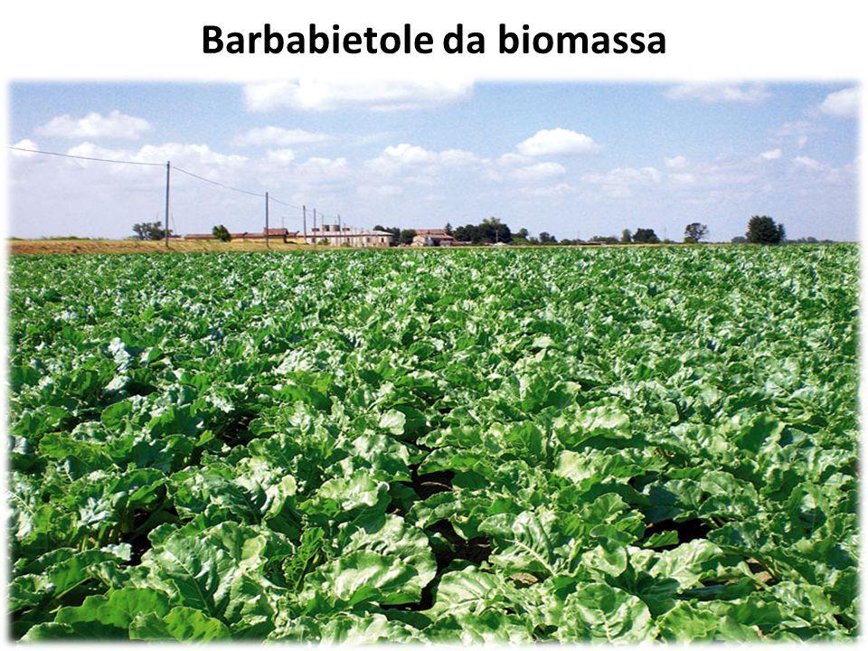 Barbabietole da biomassa