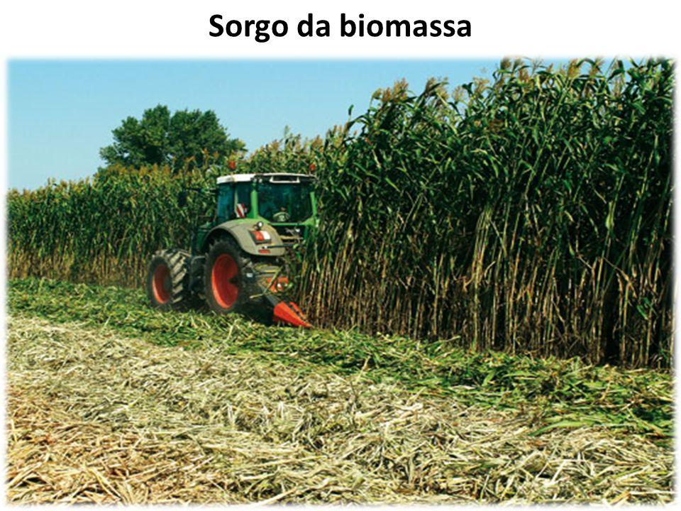 Sorgo da biomassa