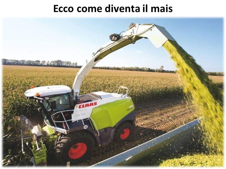 Ecco come diventa il mais