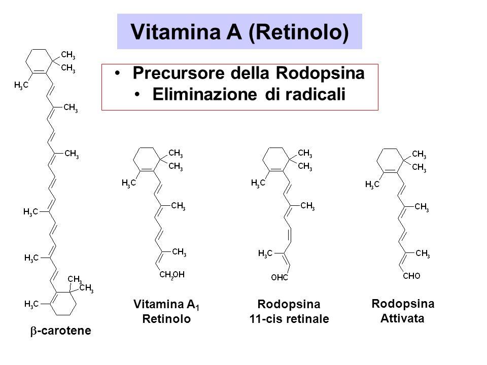 Vitamina A (Retinolo) Precursore della Rodopsina Eliminazione di radicali  -carotene Vitamina A 1 Retinolo Rodopsina 11-cis retinale Rodopsina Attiva