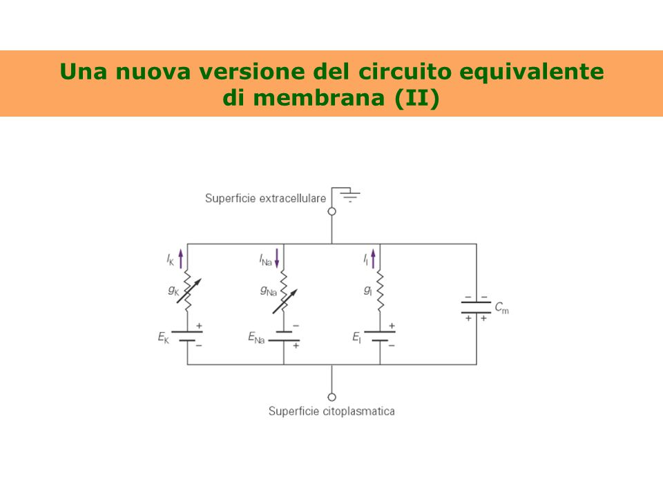 Una nuova versione del circuito equivalente di membrana (II)